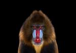 Brad Wilson: Mandrill #1, Los Angeles CA, 2014