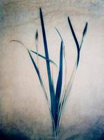 Diana Bloomfield: Siberian Iris, 2018