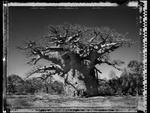 Elaine Ling: Baobab, Tree of Generations #24, 2010