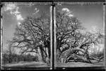 Elaine Ling: Baobab, Tree of Generations #11, 2009