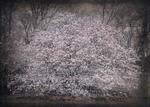 Kate Breakey: Magnolia, NYC, Botanical Garden
