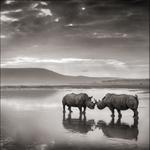 Nick Brandt: Rhinos in Lake, Nakuru 2007