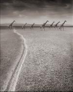 Nick Brandt: Giraffes with Migration Trail, Amboseli 2007