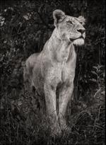 Nick Brandt: Lioness In Dark Foliage, Serengeti, 2012