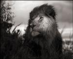 Nick Brandt: Lion in Shaft of Light, Maasai Mara, 2012