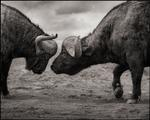 Nick Brandt: Buffalos Head to Head, Lake Nakuru, 2011