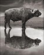 Nick Brandt: Buffalo in Lake, Lake Nakuru, 2011