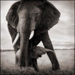 Nick Brandt: Elephant Mother & Baby Holding Leg, Serengeti, 2002