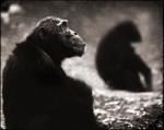 Nick Brandt: Chimpanzee Monks, Mahale, 2003